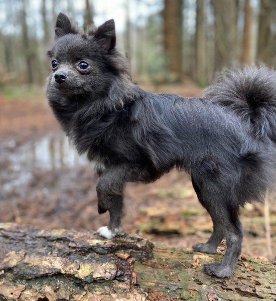 sterkliniek-dierenarts-hilversum-zorgplan-huisdier-kleine-hond