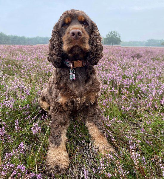 sterkliniek-dierenarts-hilversum-zorgplan-huisdier-middelgrote-hond