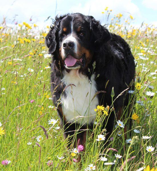 sterkliniek-dierenarts-hilversum-zorgplan-huisdier-reuze-hond